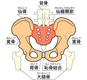 骨盤 構造