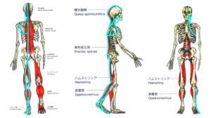 肩こり・腰痛は筋膜整体が必要です。